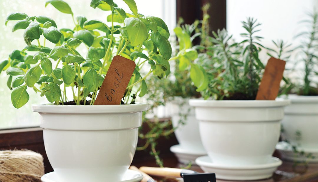 Growing Herbs Indoors in the Winter Time
