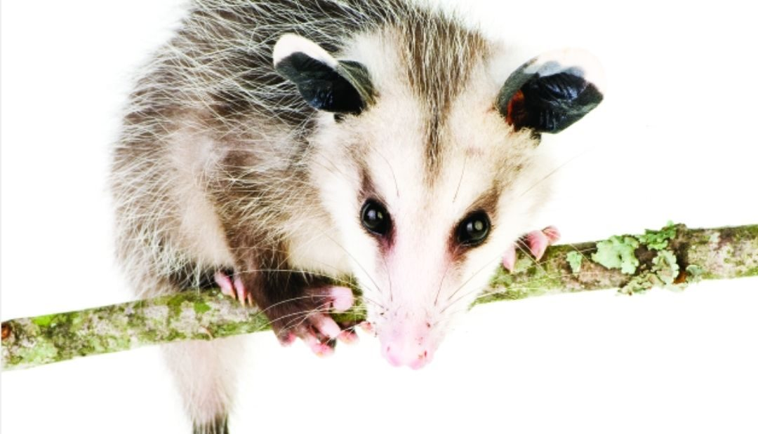 Playing Possum: Pennsylvania Opossums